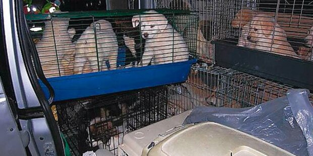 Schlag gegen die Hunde-Mafia: 43Welpen gerettet