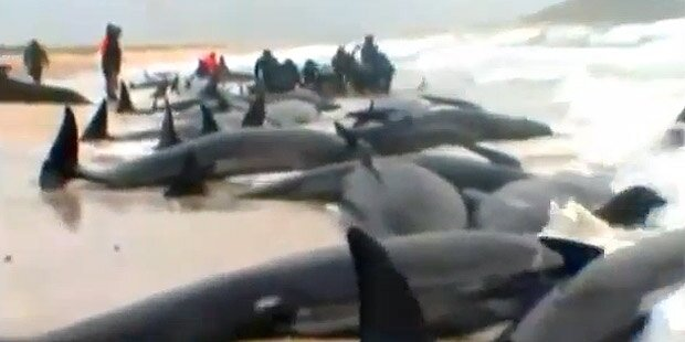 Mysteriös: 198 Wale gestrandet