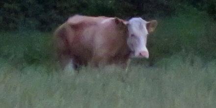 Kuh Yvonne auf der Flucht