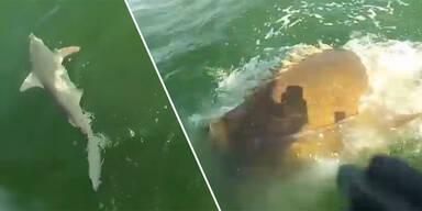 Mega-Fisch verschlingt Hai mit einem Bissen