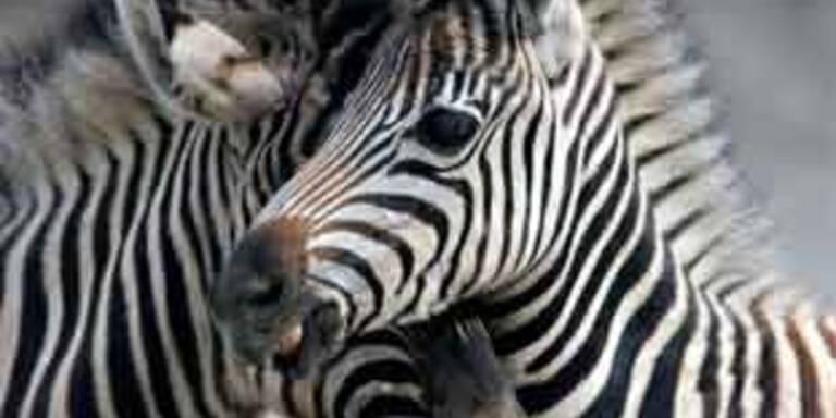 Schwules Zebra-Paar nach Jahren in Liebe vereint