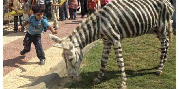Zoochef malt Esel als Zebra an
