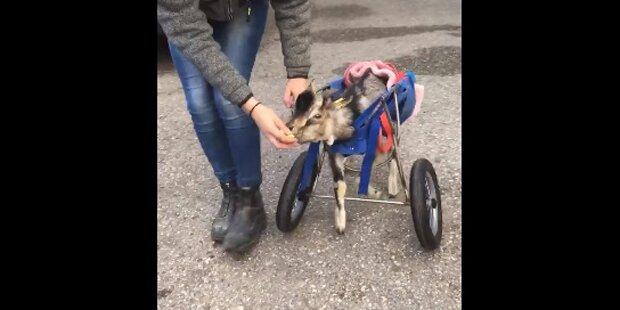 Oberösterreicher baut Rollstuhl für vernachlässigten Ziegen-Bock