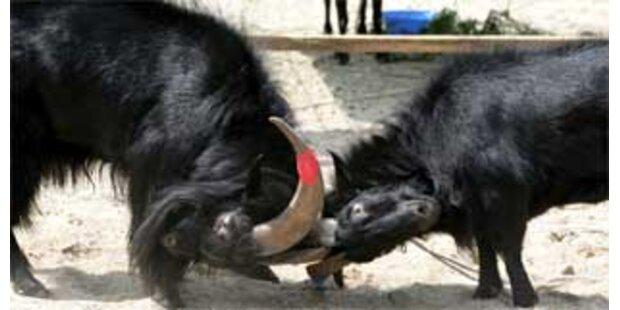 Nepalesische Airline opfert Ziegen