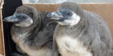 Pinguin-Massaker im Dresdner Zoo
