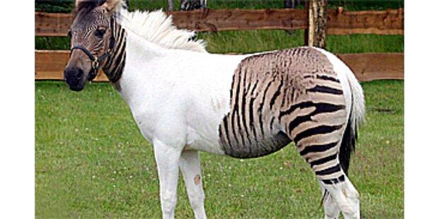 Seltenes Zebra gerettet